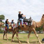 Camel rides at Ingleburn Alive festival.