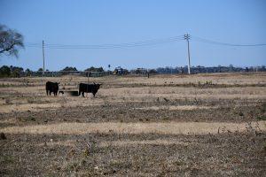 cattle farm in the Macarhur region.