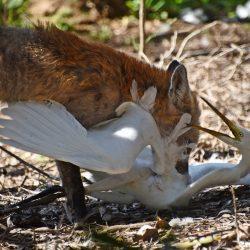 Fox attack