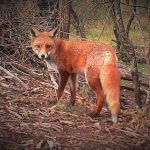 foxaug132019