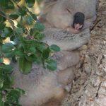 koalaric