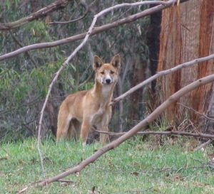 A wild dog caught on camera by Greater Sydney Local Land Services.