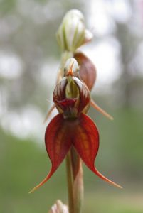 A close up of the Sydney Plains Greehood orchid (Pterostylis saxicola).