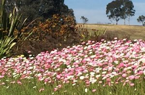 paper daisies at the botanic garden Mt Annan.